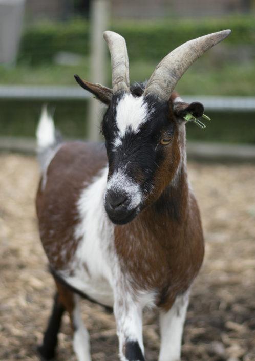 Henk de geit